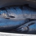 Salmon are Forest Products, Too