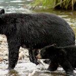 """Alaska's """"Salmon Forest"""" is in Jeopardy"""