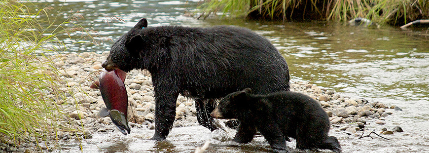 Mother bear and cub in the Tongass