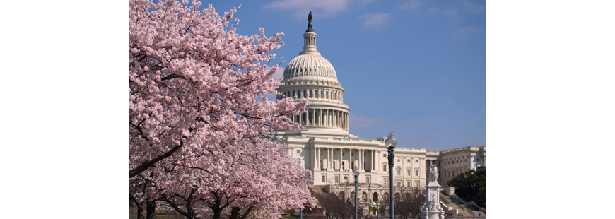 Cherry Blossoms at the U.S. Capitol